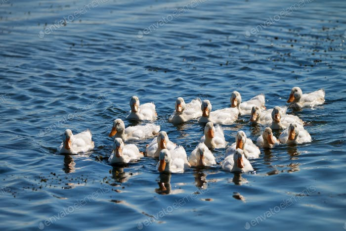 White domestic ducks