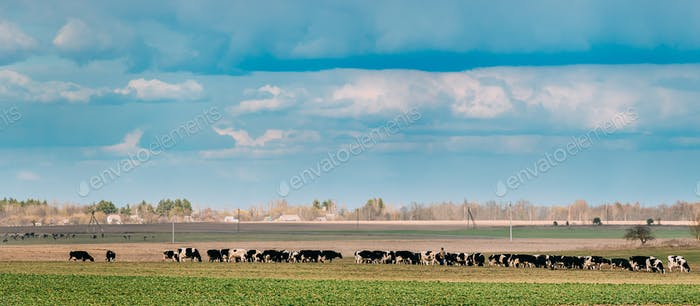 Panorama, Panoramic View Of Cattle Of Cows Grazing In Meadows Pasture. Spring Green Pasture