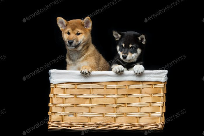Beautiful shiba inu puppies in basket