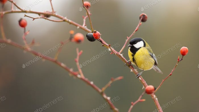 Great tit sitting on rosehip in autumn nature