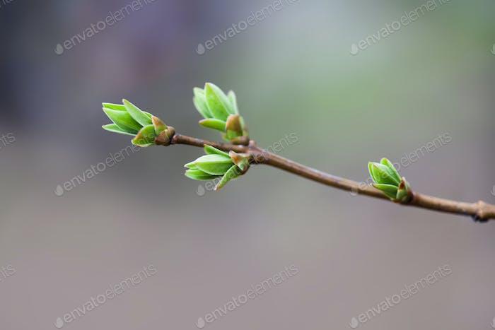 Frühlingsbusch Zweig mit frischen grünen Knospen und Blättern. Frühlingsnatur Einfachheit Konzept. Flacher