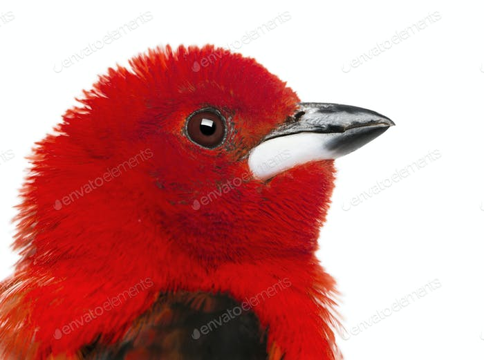 Close-up of a Brazilian Tanager - Ramphocelus bresilius - isolated on white