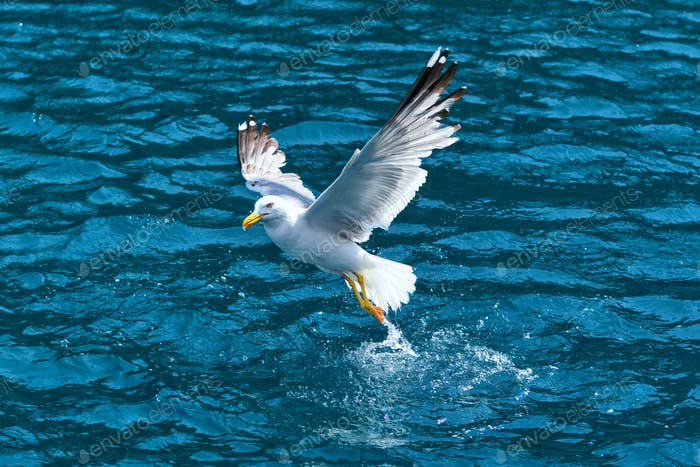 Seagull (Larus michahellis) taking off over water