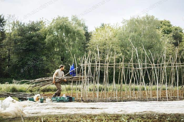 A man carrying a bundle of pea sticks for growing vegetables in an organic vegetable plot.