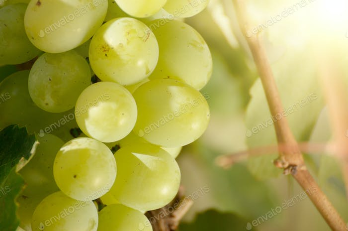 Green grape cluster against sunlight closeup view