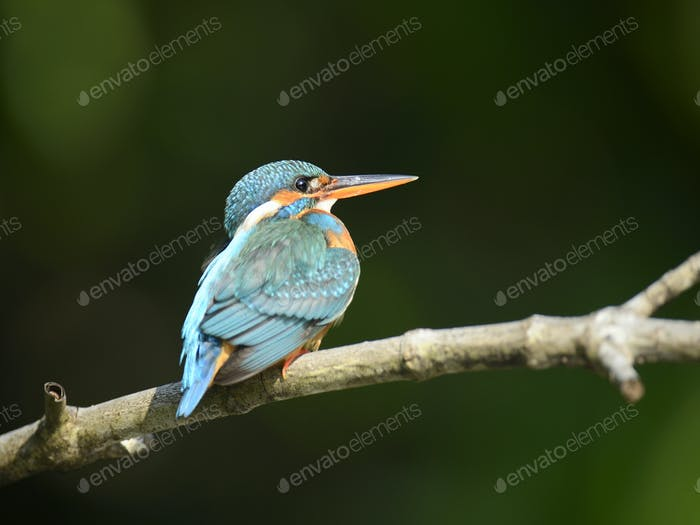 Blue Kingfisher bird