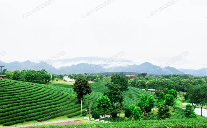 Tea plantation of nature