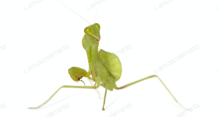 Praying mantis - Mantis religiosa