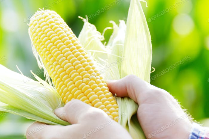 Harvest ready unwrapped corn cobs in farmer's hands closeup