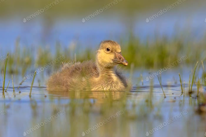 Greylag goose chick swimming in water