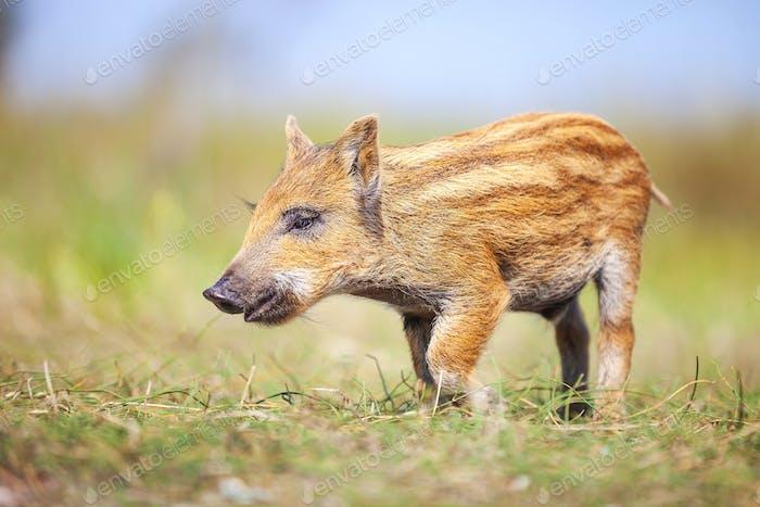 """""""Wild piglet on a summer day"""