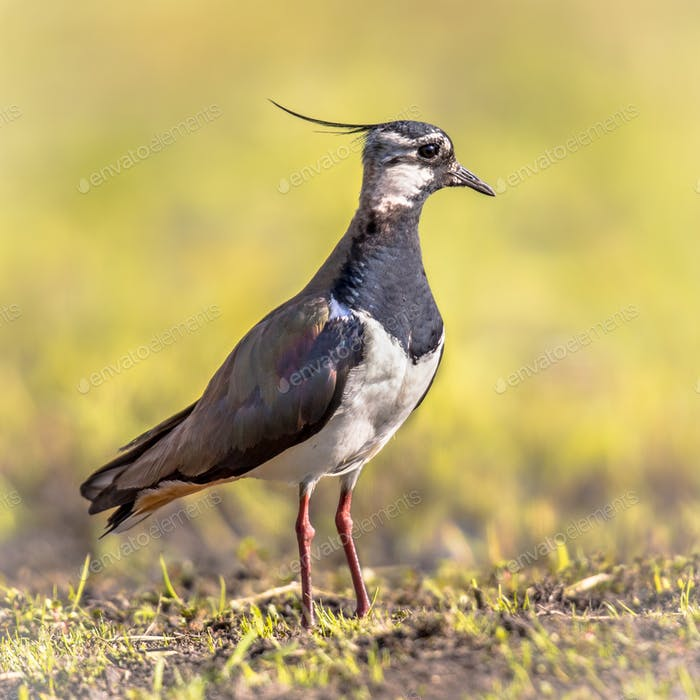 Northern Lapwing standing close up