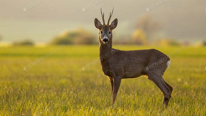 Roe deer buck in spring time at sunset with copy space