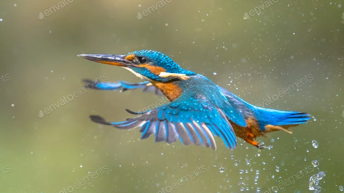 Common European Kingfisher Flying