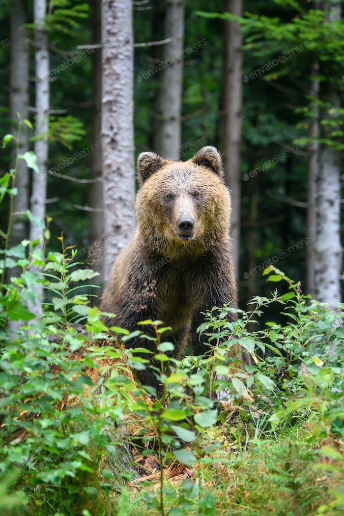 Wilder Erwachsener Braunbär (Ursus Arctos) im Sommerwald