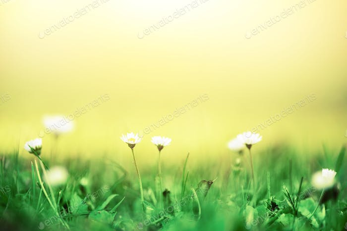 Field of daisy flowers. Fresh green spring grass with sun leaks effect, copy space. Soft Focus