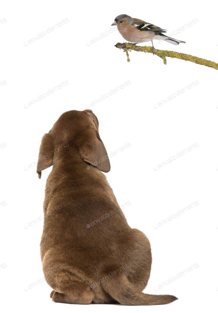 Labrador Retriever Puppy sitting and looking up at a Common Chaffinch perched on a branch