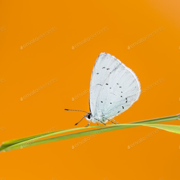 holly blue, Celastrina argiolus, on a blade of grass in front of an orange background