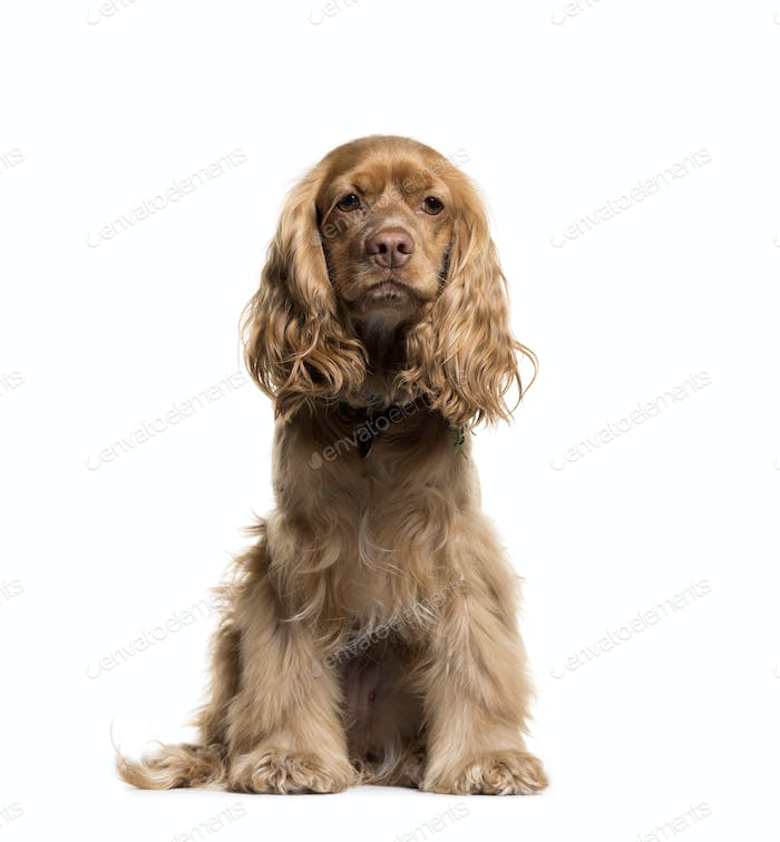 English Cocker Spaniel sitting, isolated on a white background