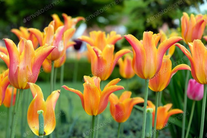 Orange tulip flower in the garden
