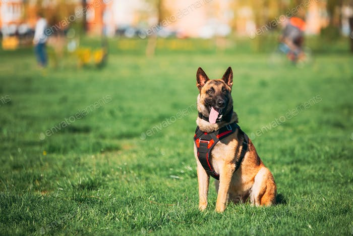 Malinois Dog Wears In Special Clothes Sitting Outdoors In Green