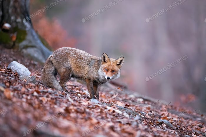 Shy red fox with her tail down wandering in the gloomy autumnal forest