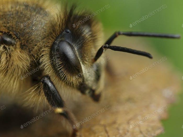 Europäische Honigbiene (Apis mellifera)