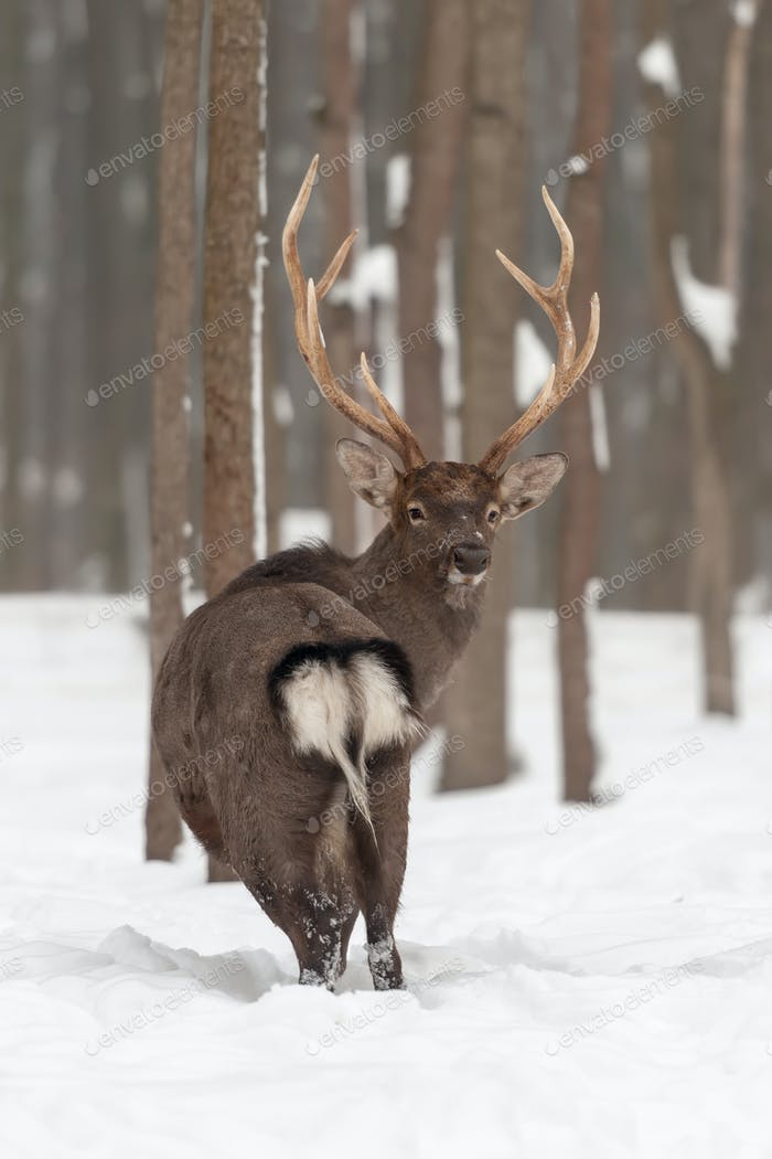 Thumbnail for Red deer in winter forest