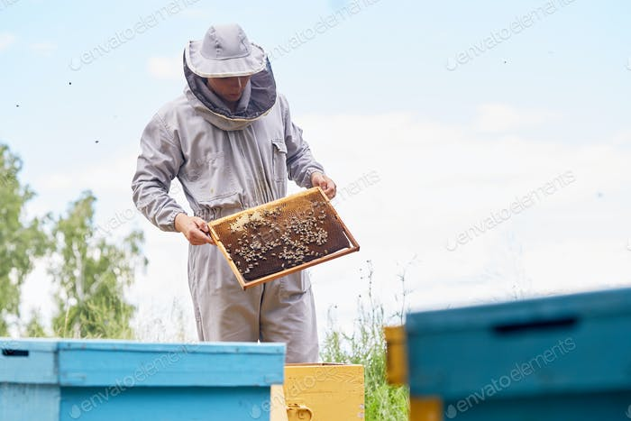 Young Apiarist Checking Hive Frames