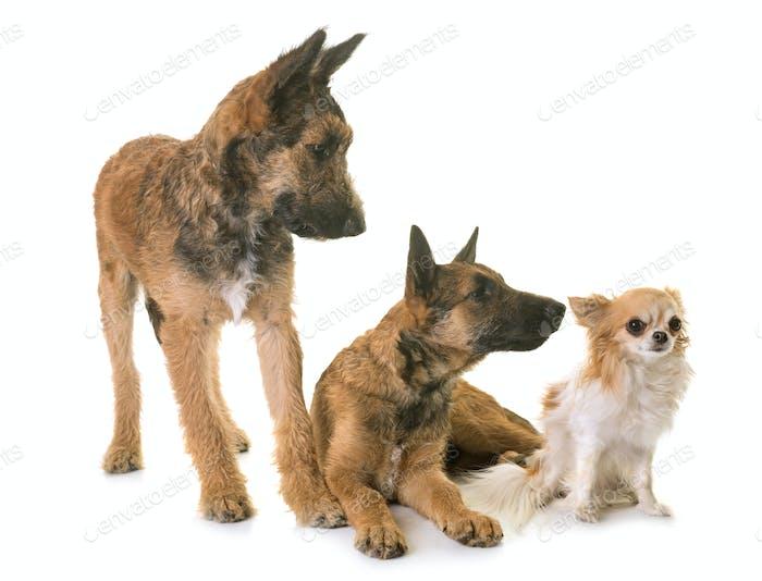 puppies belgian shepherd laekenois and chihuahua