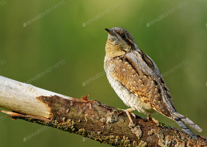 Wryneck (Jynx torquilla) on the branch
