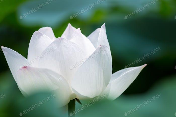 white lotus flower closeup in summer