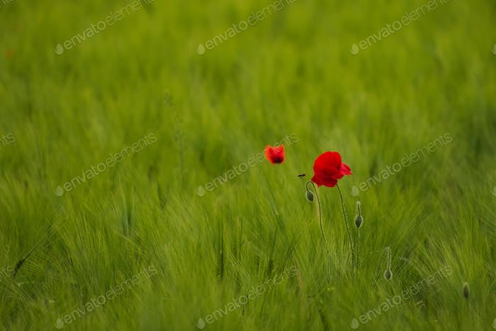 Red poppy on spring wheat field