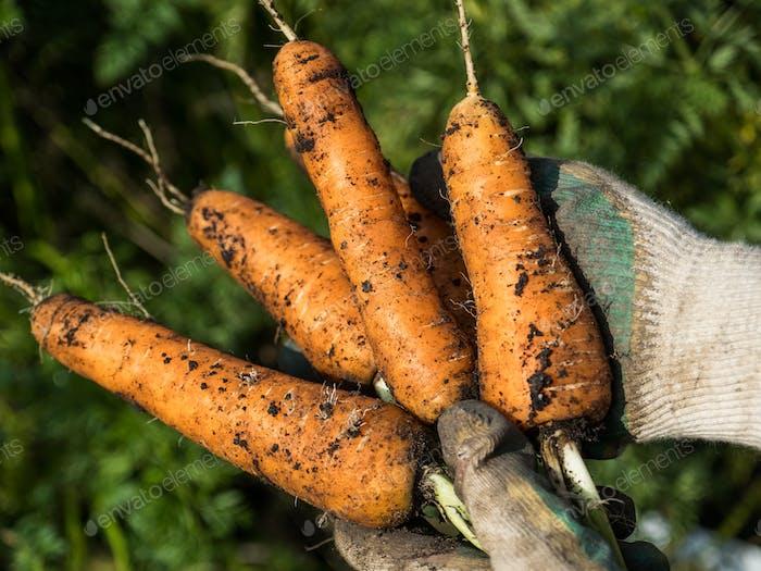 Picking carrot in the garden