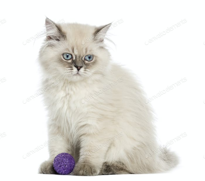British Longhair kitten sitting with a ball, 5 months old, isolated on white