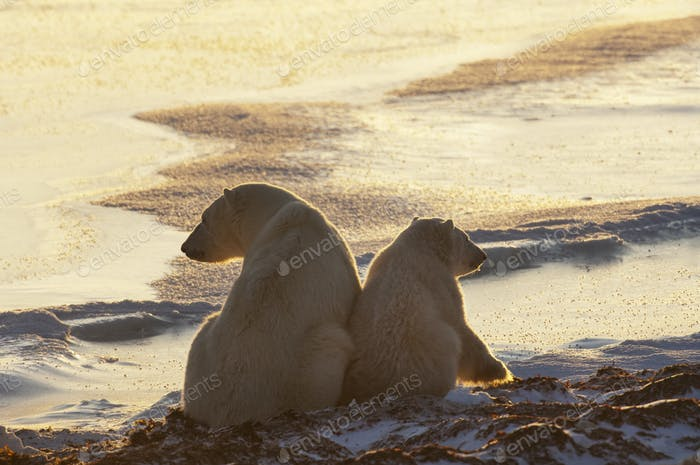 Two polar bears sittin side by side on a snowfield in Manitoba, at sunset.