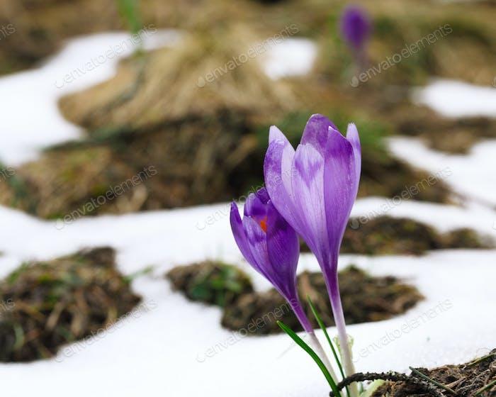 Lila Krokusblüten im Schnee erwachen im Frühling