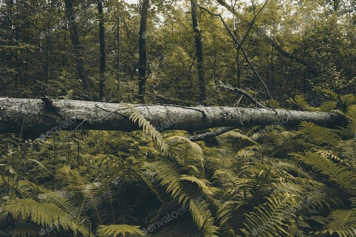 Tronco de árbol caído entre selvas tropicales
