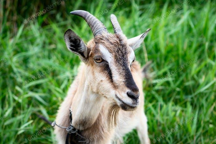 Domestic smoke goat grazing in green grass