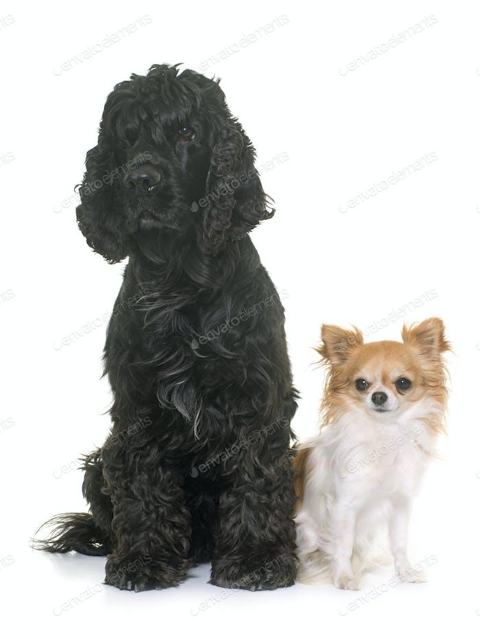 schwarz American Cocker und Chihuahua