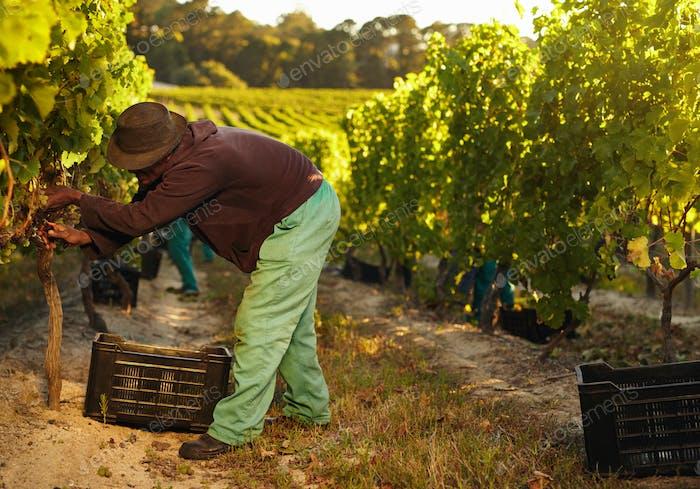 African farmer harvesting grapes