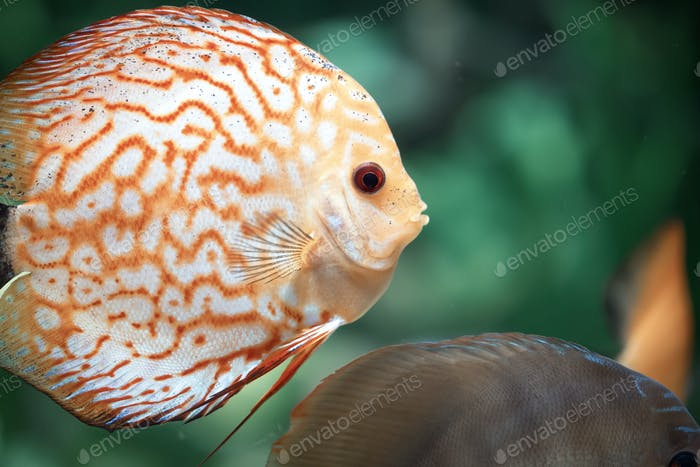 Taubenblut Discus Fisch - Symphysodon aequifasciatus
