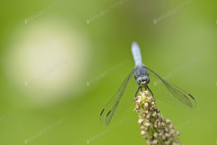 Blue dragonfly on pond plant spike