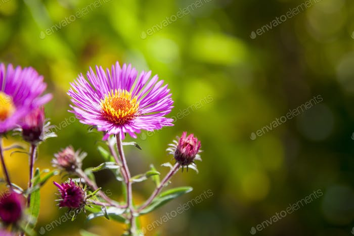 pink aster in the garden