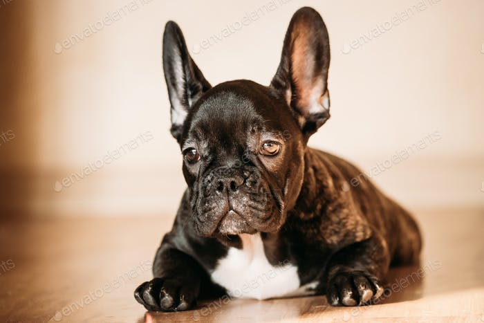 Young Black French Bulldog Dog Puppy Sitting On Laminate Floor I