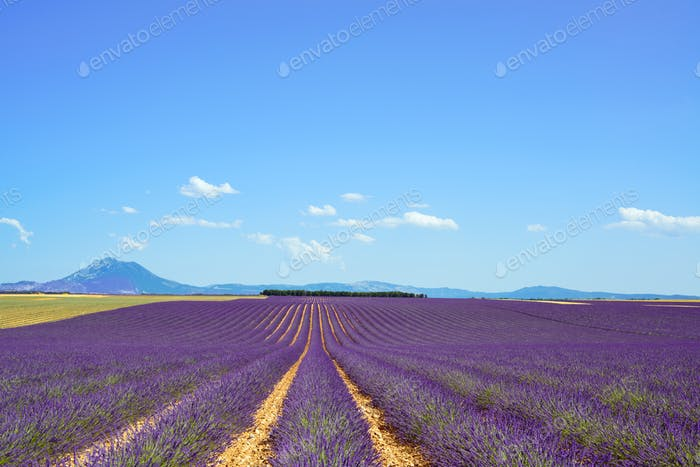 Lavender flower blooming fields and trees row. Valensole Provence, France.