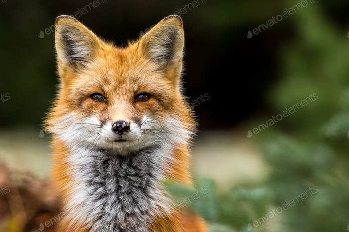 Red Fox - Vulpes vulpes, close-up portrait with bokeh of pine trees in the background.