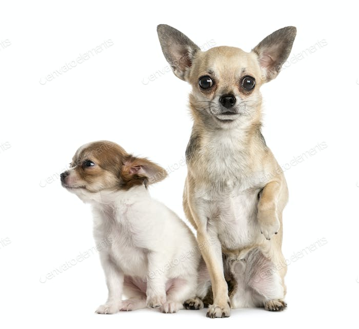 Two Chihuahuas in front of a white background