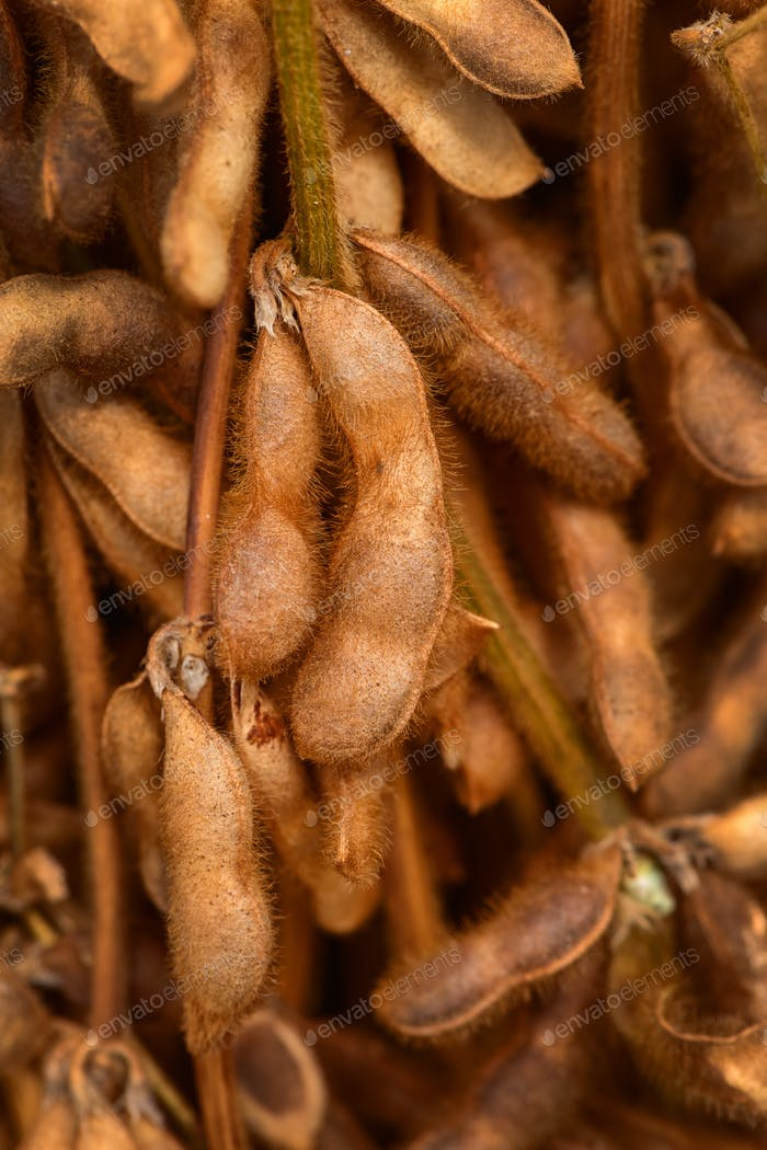 Harvested soybean straws and pods bundled