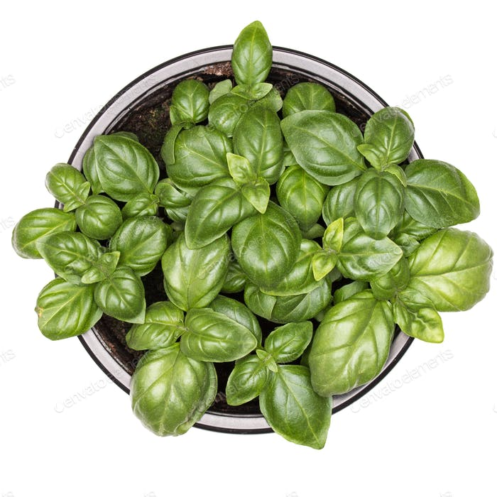 Sweet green basil leaves in pot isolated on white background. Healthy eating concept. Top view.